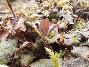 ジャゴケの蒴は春の訪れ