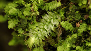 蘚類と苔類