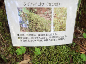 亜高山帯を代表するタチハイゴケ
