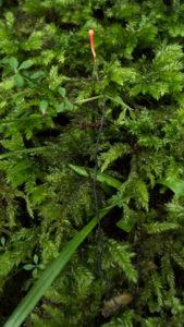 冬虫夏草の当たり日! これはカメムシタケ