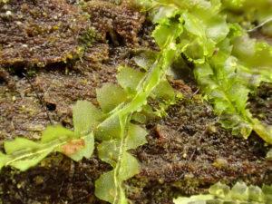 ヒメトサカゴケの無性芽、触ったら爽やかな香りしました