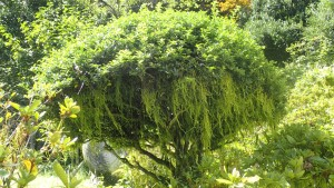 木から垂れ下がるキヨスミイトゴケ