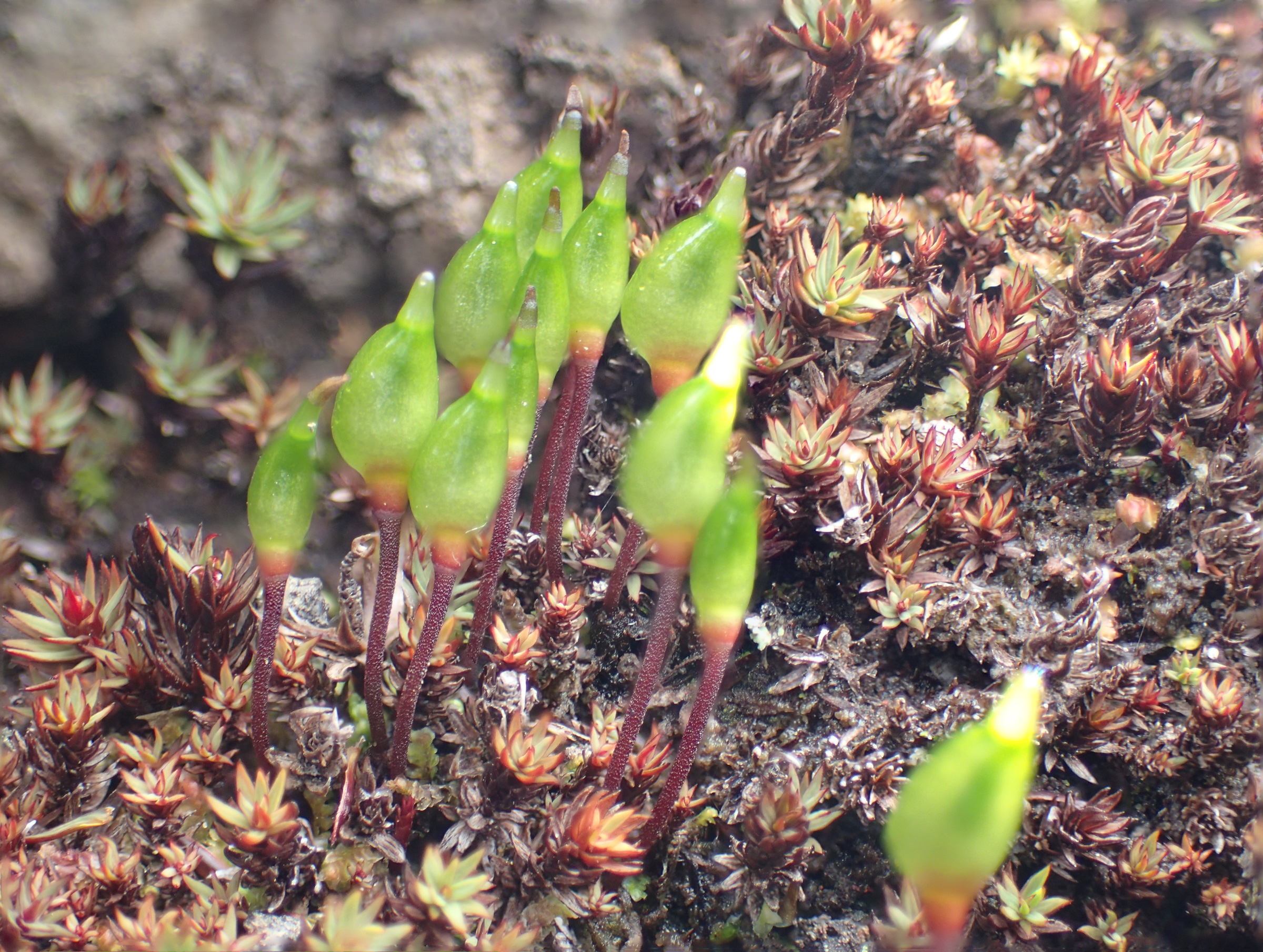 キセルゴケ属 - Buxbaumia - Jap...