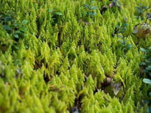 樅の林にも見えるダチョウゴケ