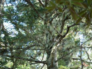 枝にぶらさがるサルオガセ(地衣類)
