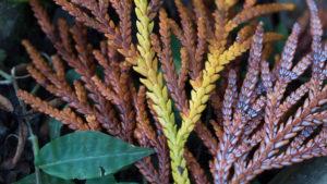 同じ木の枝なのに全く違う色に紅葉する