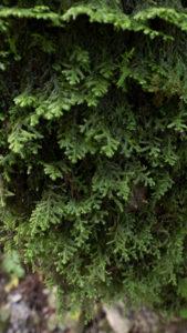 オオクラマゴケモドキ:背面