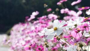コスモスが花盛り
