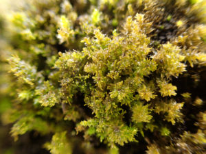謎の蘚類。無性芽がたくさんついている