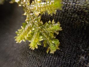 クラマゴケモドキ腹面(裏)茎部分に大きな腹葉(ふくよう)が見えます