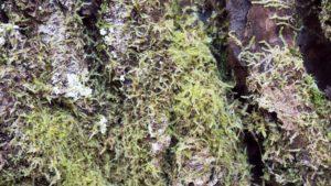 樹幹の苔類