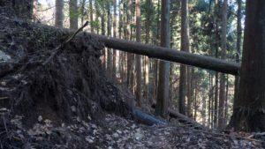 台風で倒されたと思しき杉をかいくぐって進む