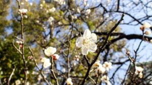 白梅が開花